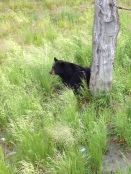 A black bear at the Alaska Wildlife Conservation Center.