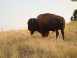 Large bison bull