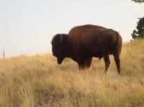 Large bison bull