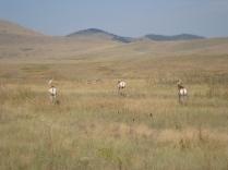 "Pronghorn antelope aka ""speed goats"""
